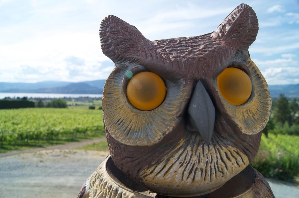 Tantalus Owl