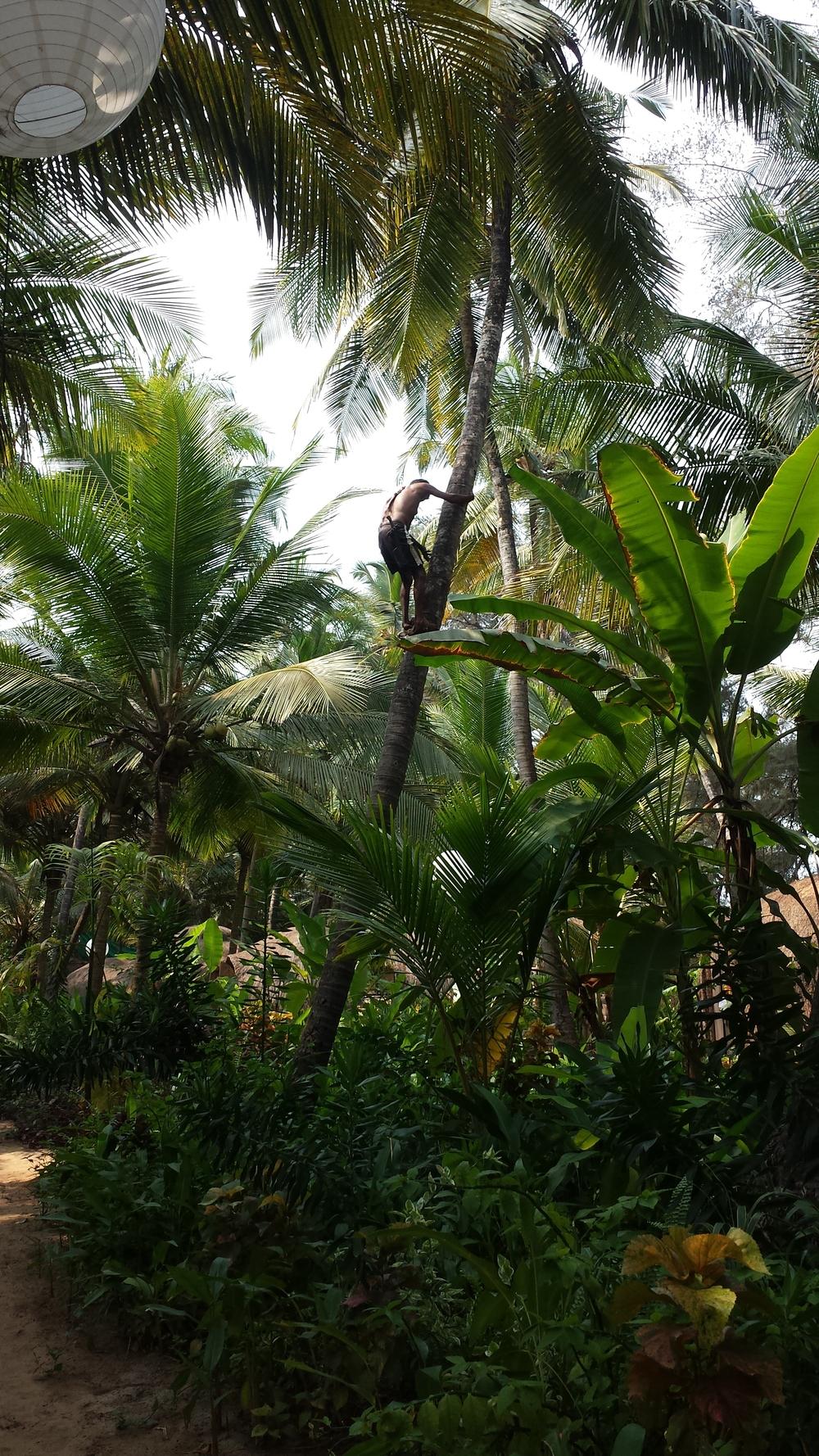 Harvesting coconuts in Goa