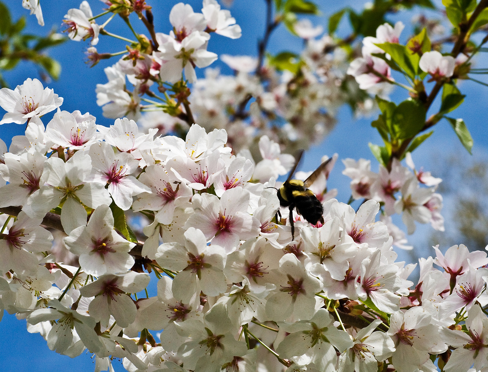 Bee in Cherry Tree, Amherst College, MA