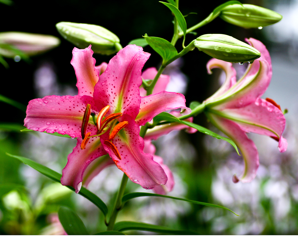 Lily with Morning Dew, Edgartown, MA