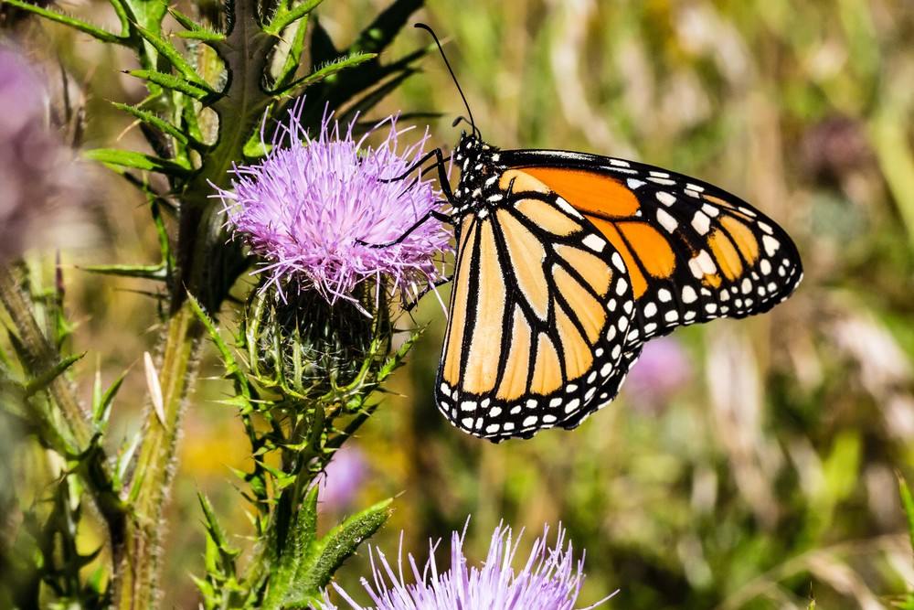 Butterfly on Thistle, Ames, Iowa