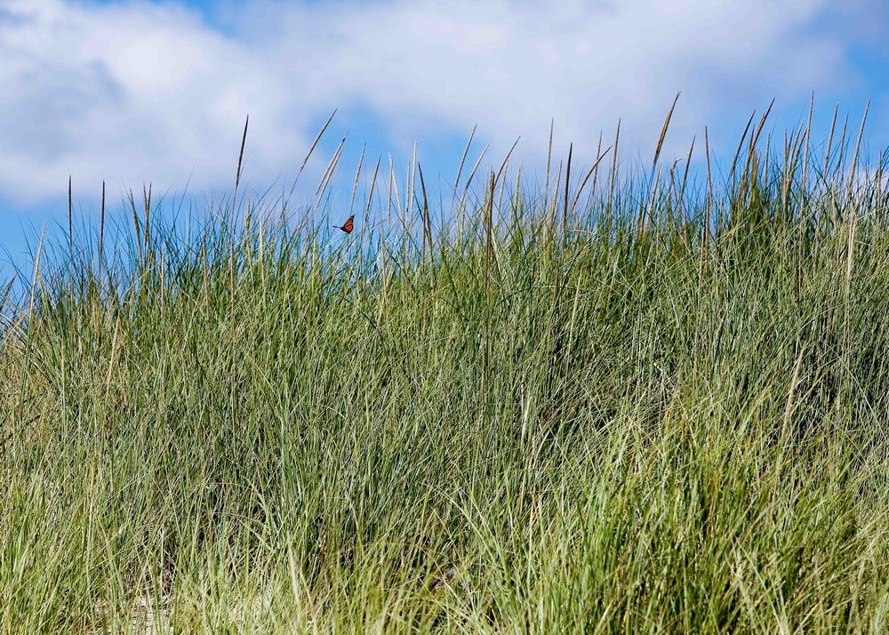 Butterfly in Dunes Grass, Katama Beach, Edgartown, MA