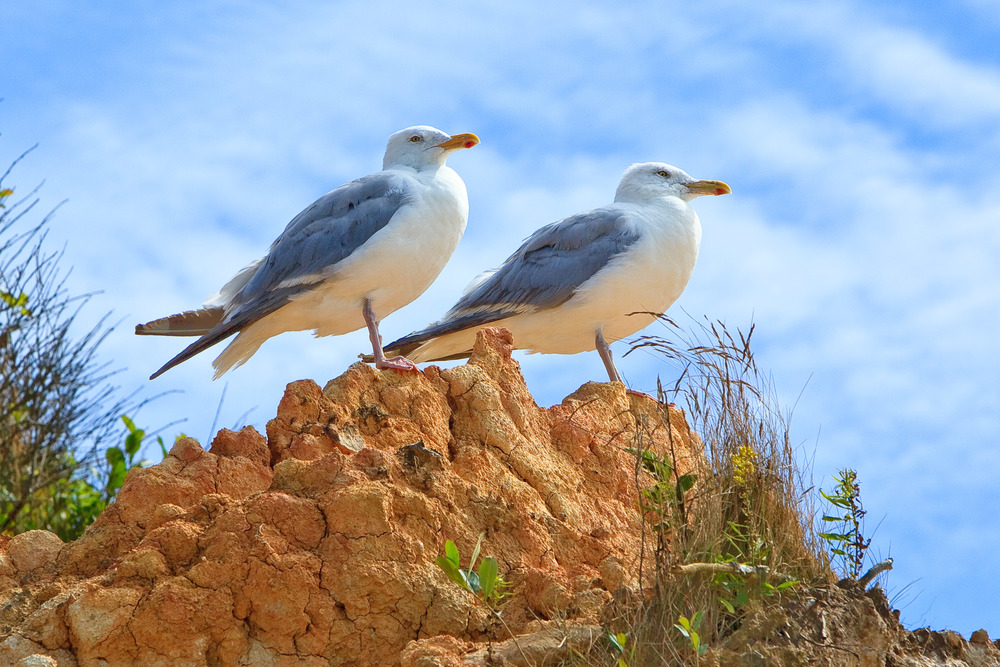 Pair of Gulls on Clay Cliffs, Aquinnah, MA