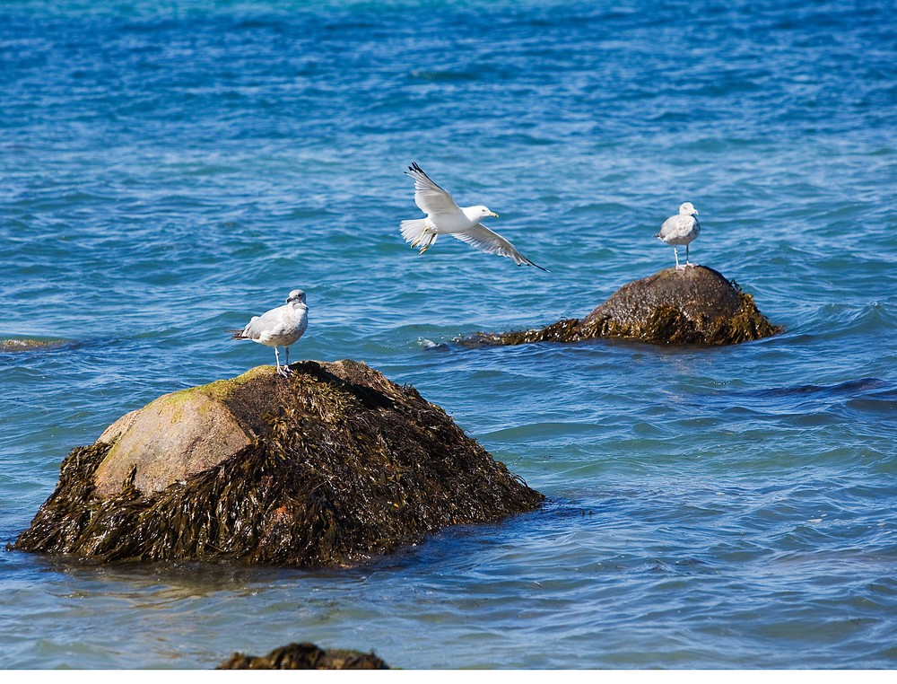 Three Gulls, Aquinna Beach, Martha's Vineyard, MA