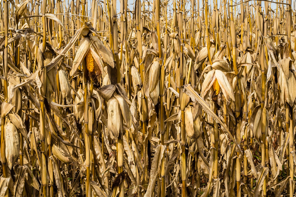 Field Corn, Story County, Iowa
