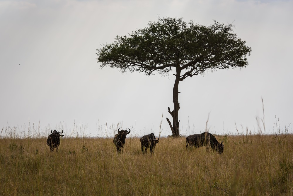 Wildebeest Grazing on the Masai Mara