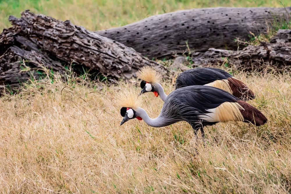 Foraging in Pairs, Ol Pejeta Reserve, Kenya