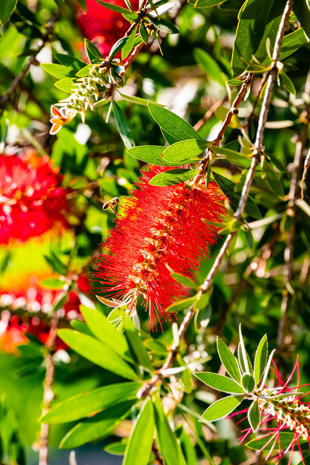 Bottlebrush, The Sportsman's Arms Hotel, Nanyuki, Kenya