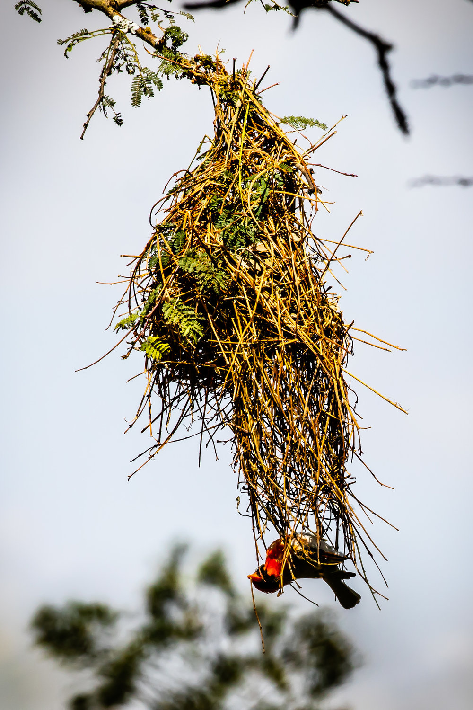 Weaver Bird, Ol Pejeta Reserve, Kenya