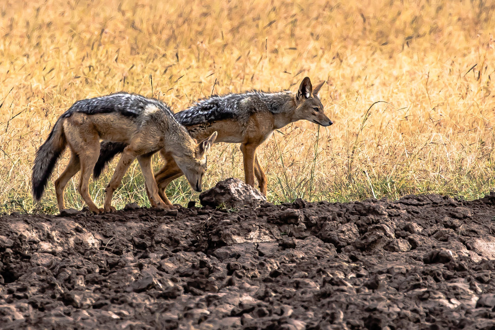 Jackals, Ol Pejeta Reserve, Kenya