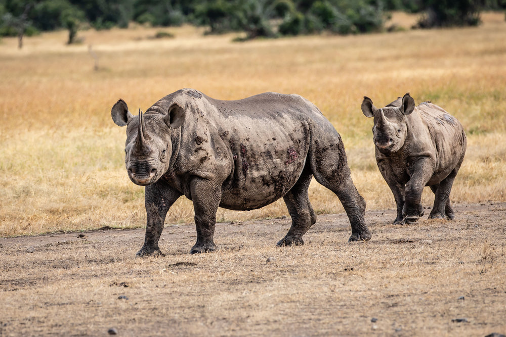 Rhinos, Ol Pejeta Reserve, Kenya