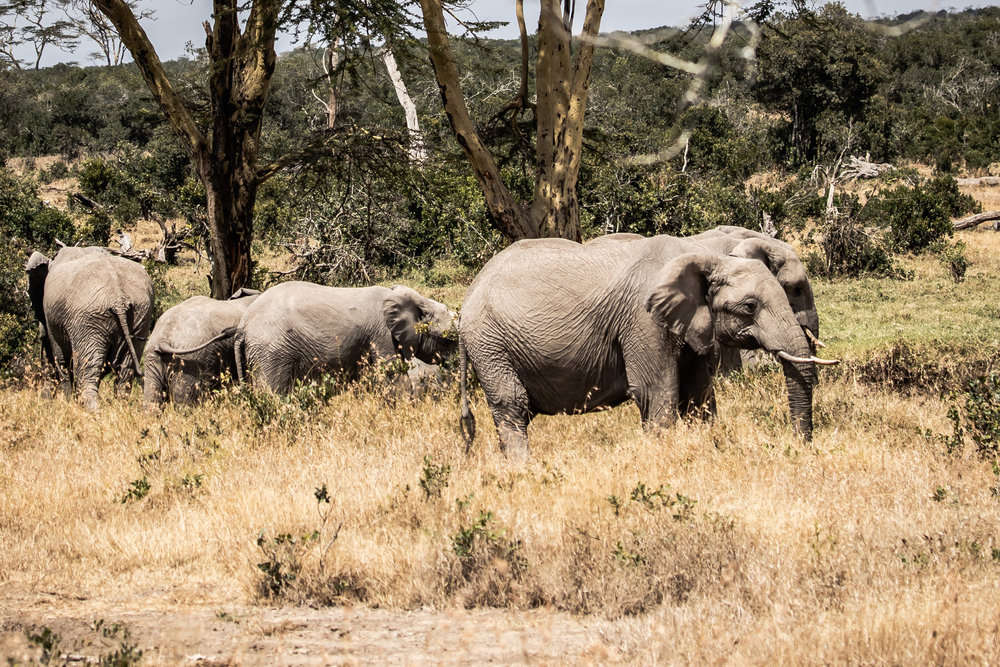 Elephants on the move, Ol Pejeta Reserve, Kenya
