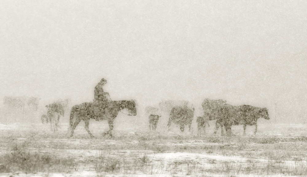 Calving In the Snow, Hillspring, Alberta