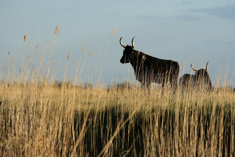 Camargue bulls, France
