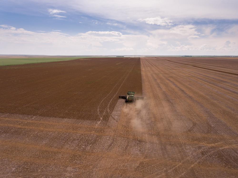 Harvesting peas near Barons