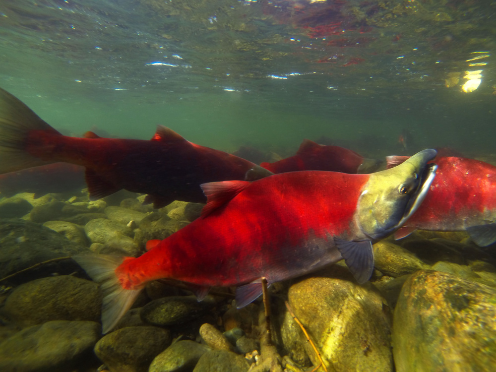 Sockeye salmon, Adams River