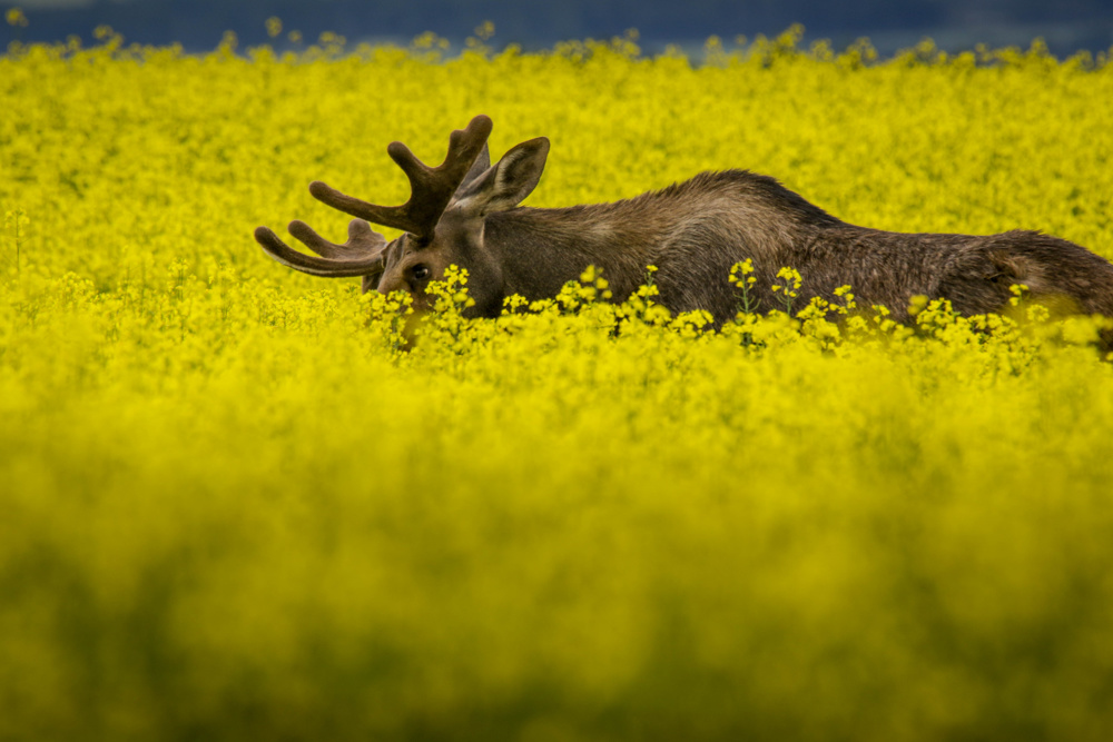 Moose in canola