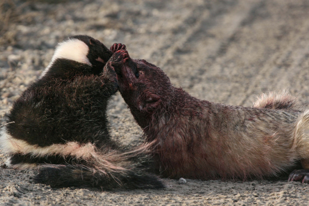 Badger battles skunk