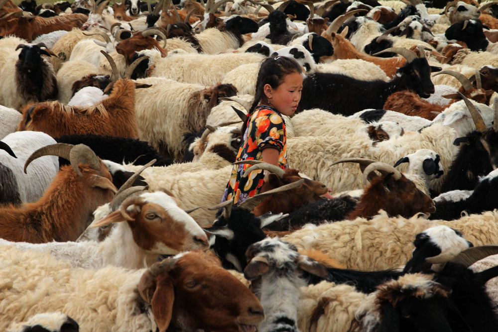 Gathering the goats, Mongolia