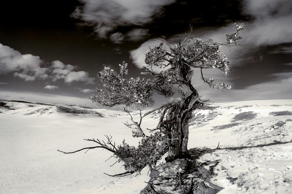 Limber pine, Porcupine Hills
