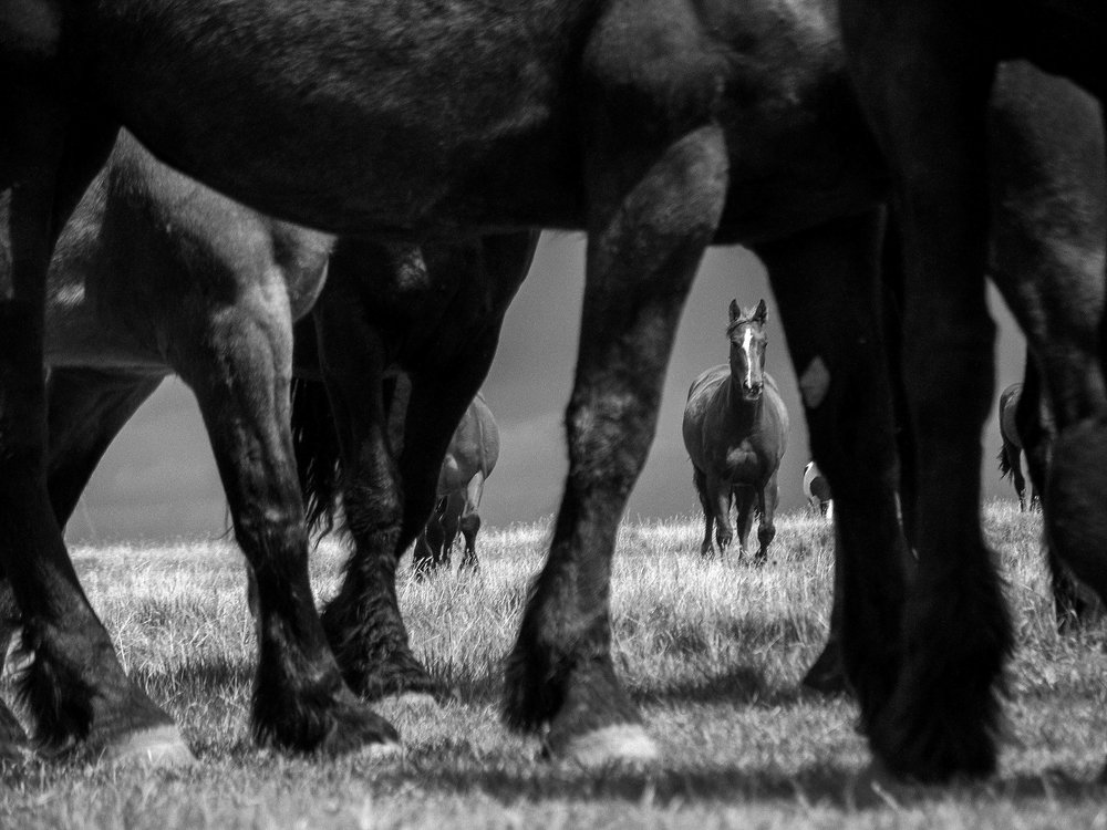 Horses, Cluny, Alberta