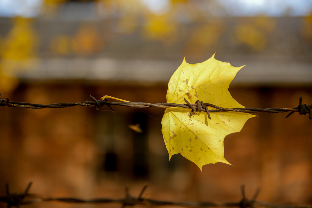 Maple leaf on barbed wire, Auschwitz
