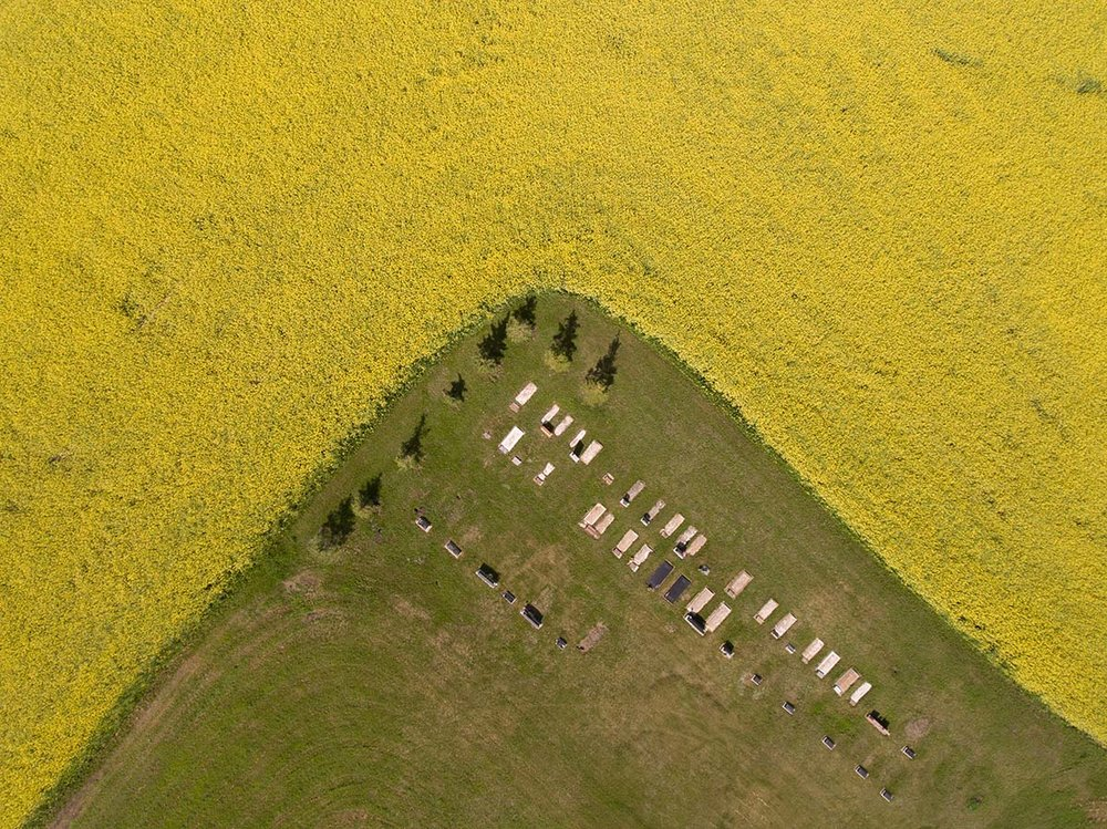 Cemetery and canola near Carbon