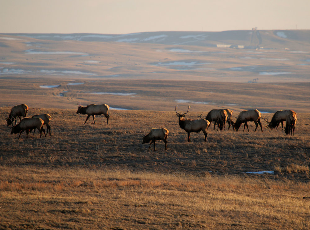 Elk on the prairie in the Milk River valley.