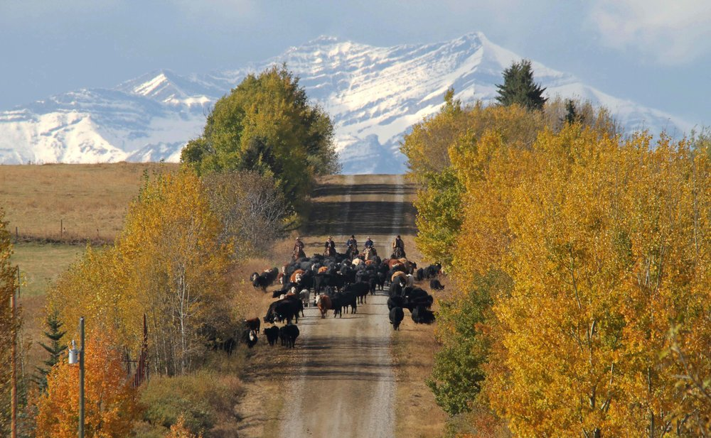Bringing the cattle home, Sheep Creek fall roundup.