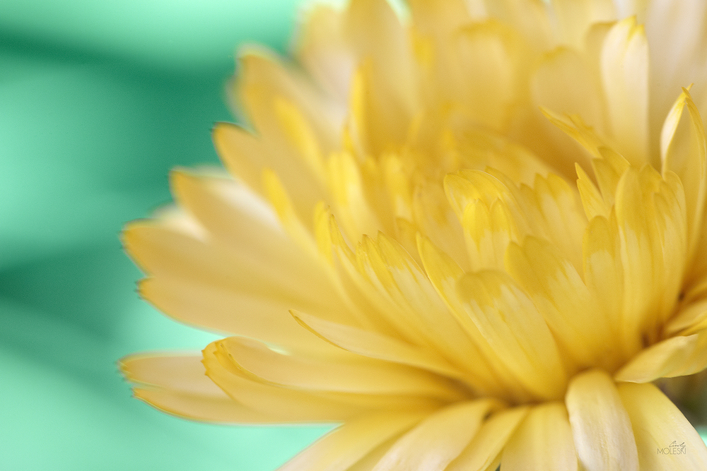 Little Teal, Lotta Yellow I-cindy-moleski-professional-photographer-saskatoon-saskatchewan-floral-straw-flower FB.jpg
