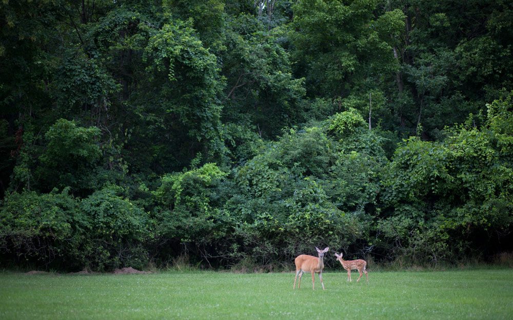 Deer-at-eagle-creek.jpg