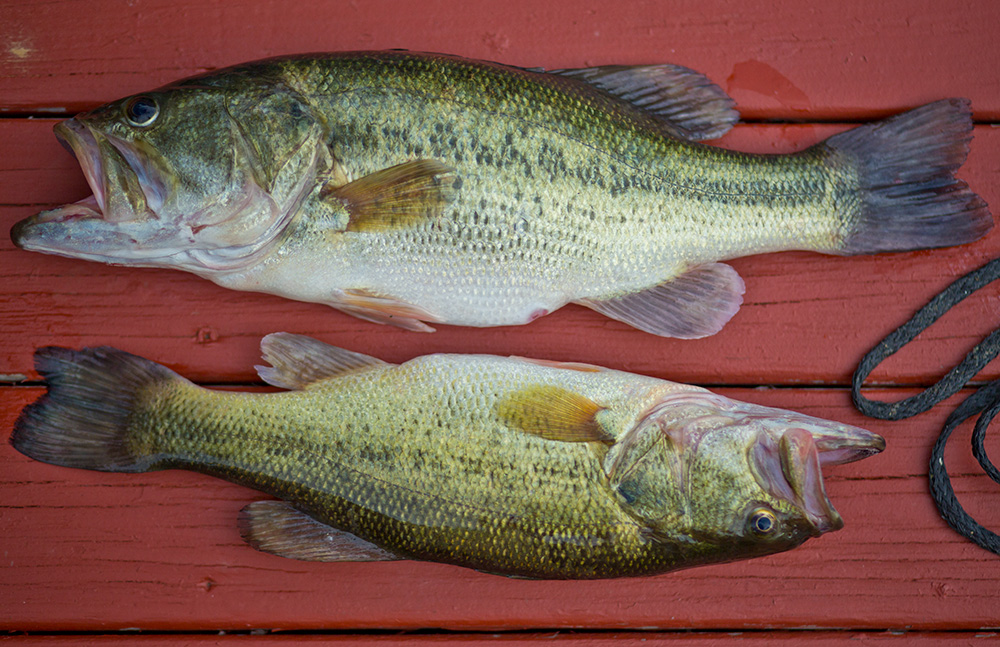 green river lake bass