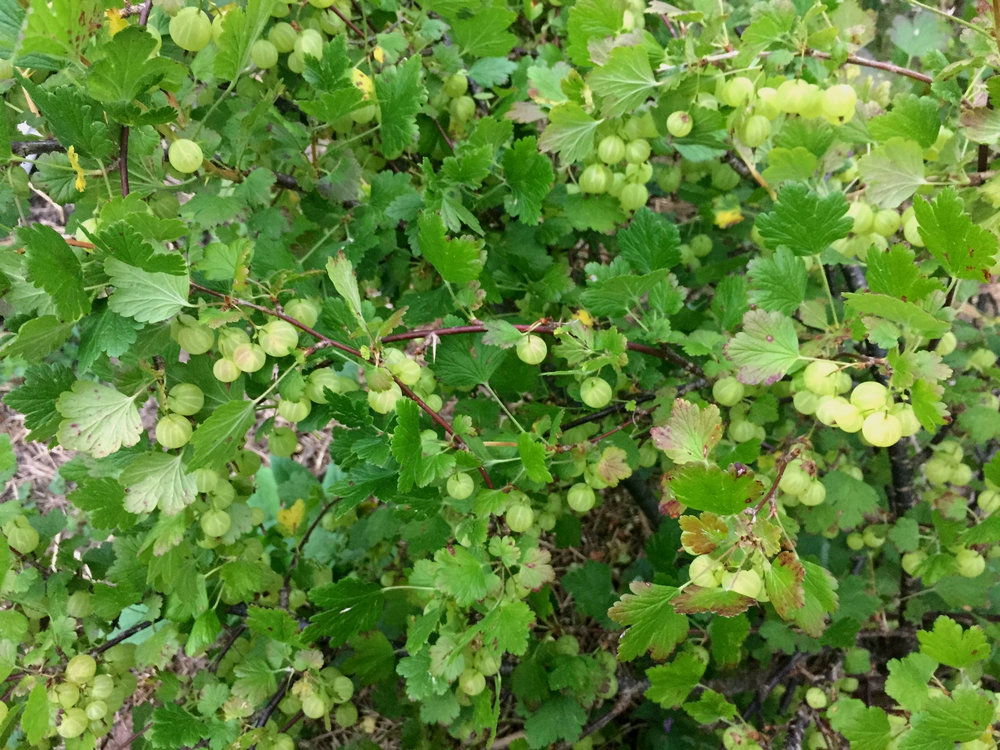 Completely unripe Pixwell Gooseberries (one of the most commonly planted home garden gooseberries, which don't have the best flavor but they….pick well….get it?)