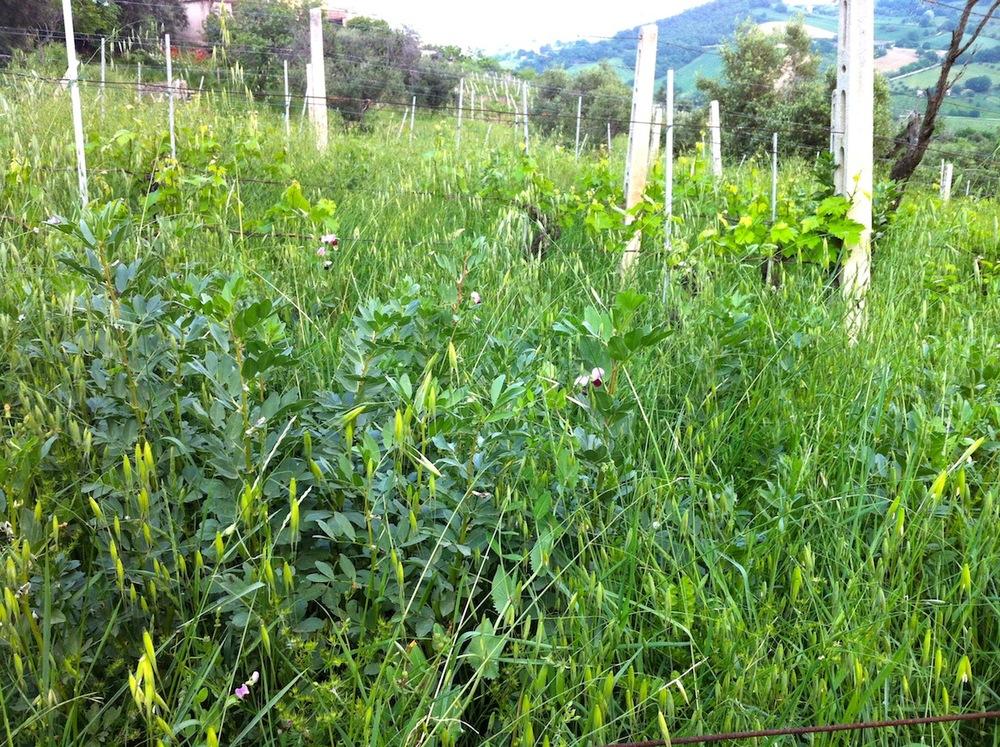 Speciale eigen gekweekte vegetatie tussen de wijnstokken om de bodem los te houden en te voorzien van voedingsstoffen