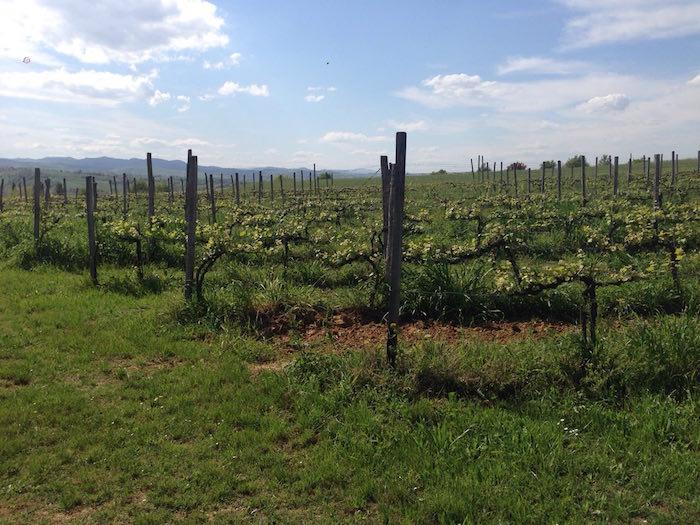 Graziano wijngaard 3.jpg