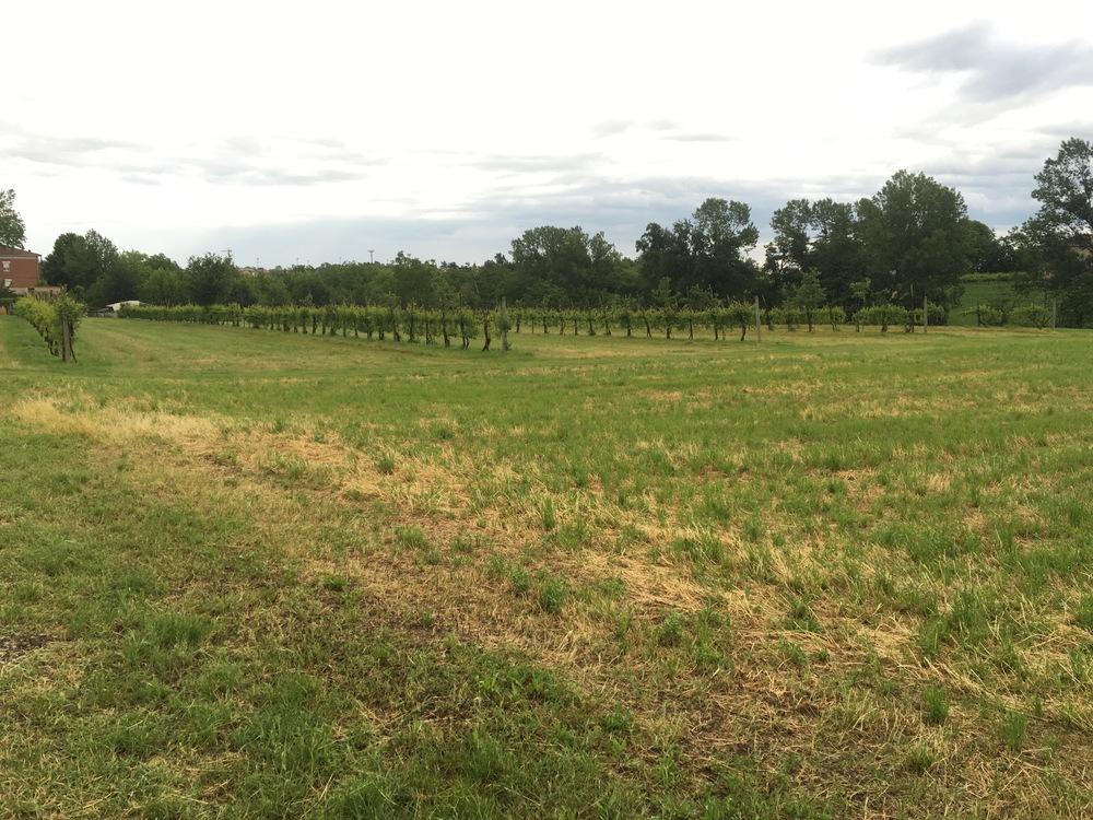 oude wijngaard