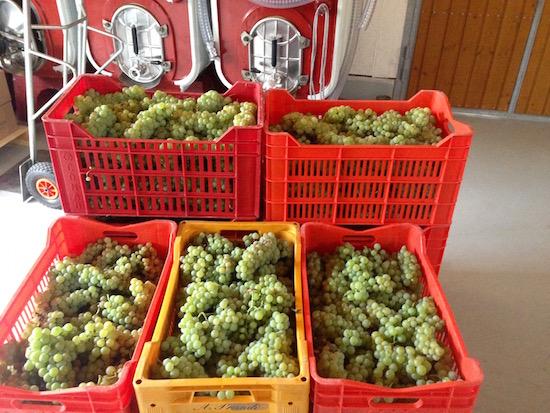 Nieuwe oogst bij Cinque Campi