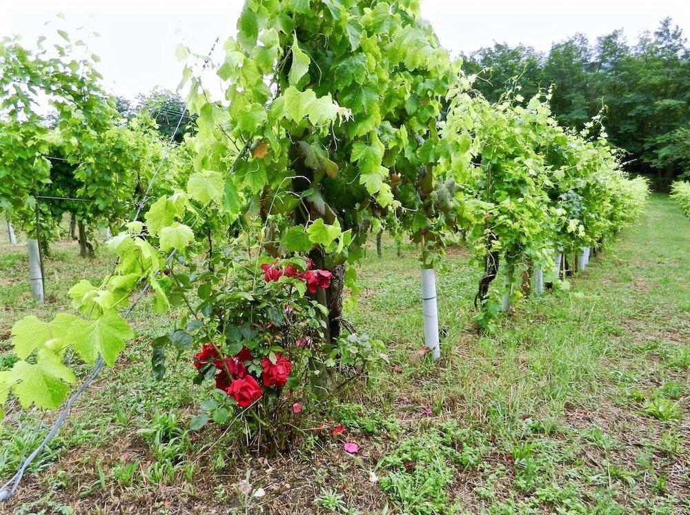 Wijngaard Crocizia