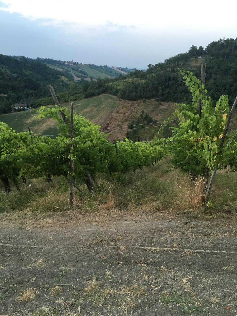 Gradizzolo wijngaard 2.jpg