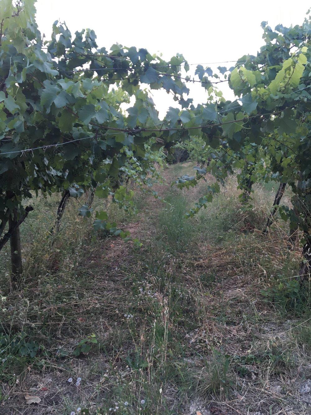 Gradizzolo wijngaard.jpg