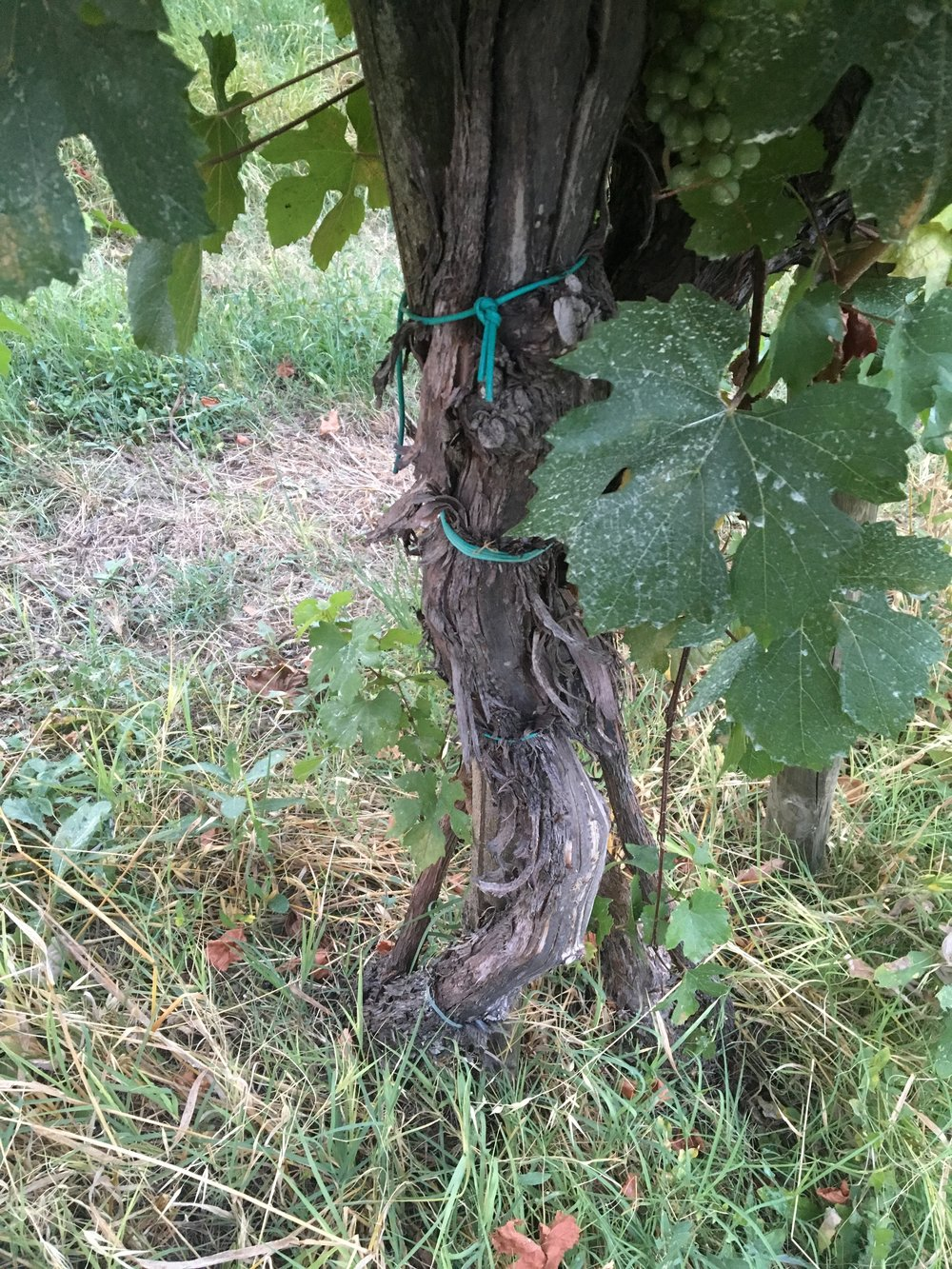 Gradizzolo wijngaard 4.jpg