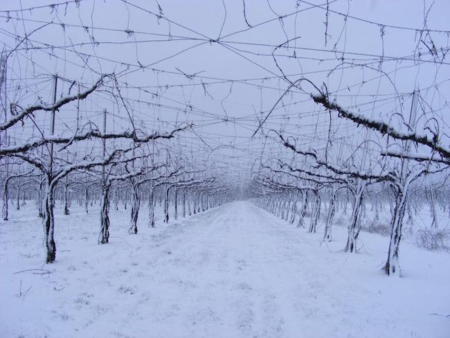 Wijngaard in wintertijd