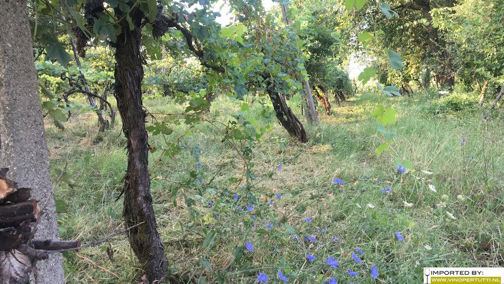 Een mooi opgeschoond stuk onder de druiven.