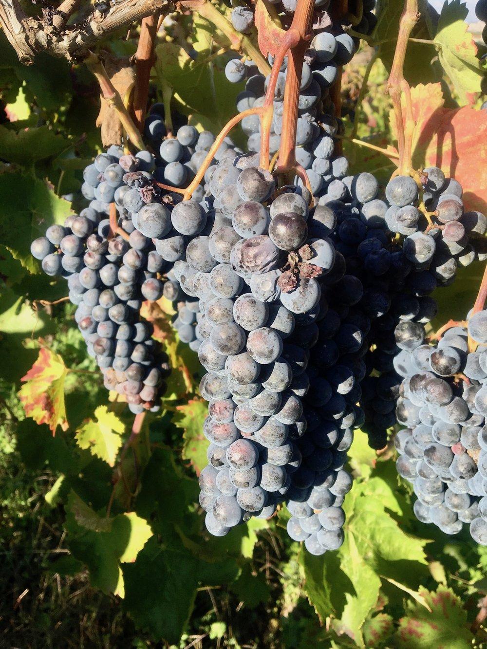 Aglianico in de wijngaard van Cantina Giardino