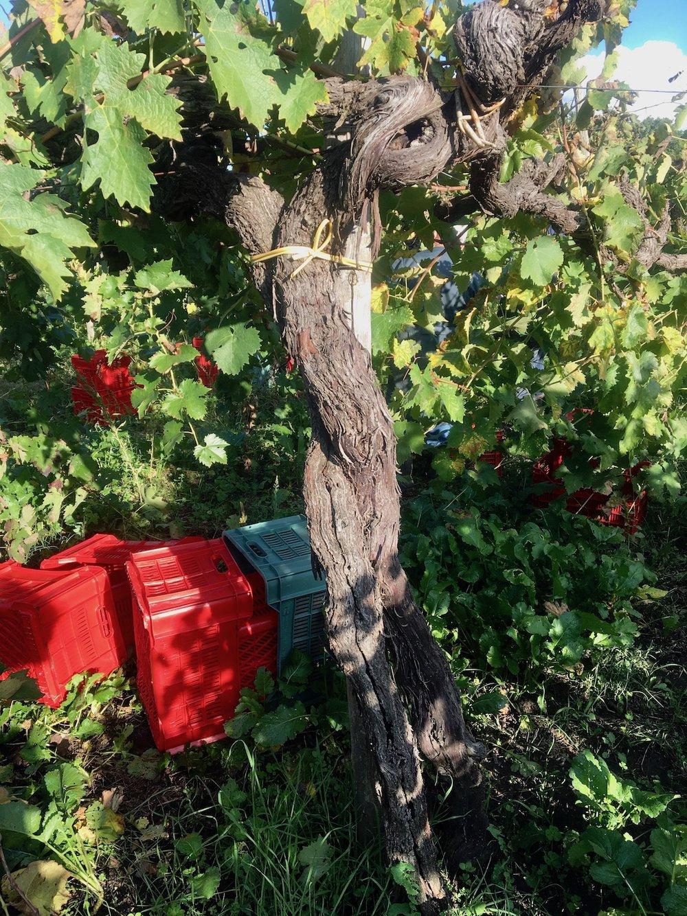Aglianico Vino Per Tutti Cantina Giardino 2.jpg