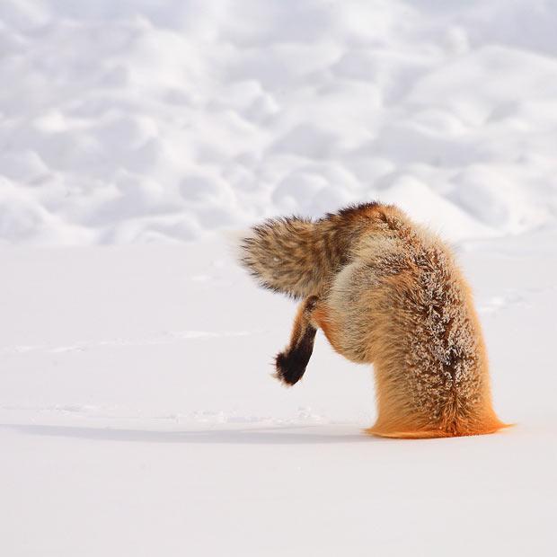 nevver: Fox hunt