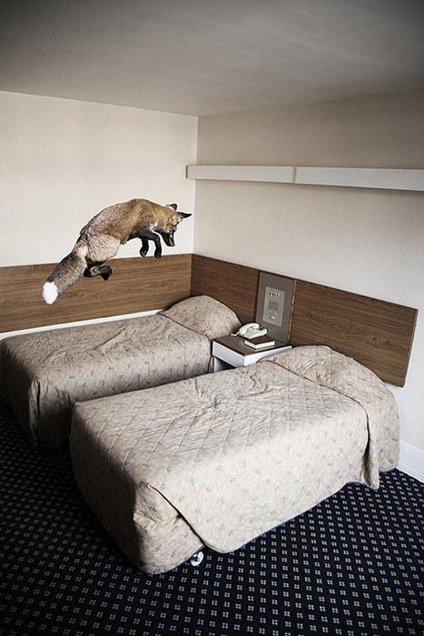 An excited fox in a hotel room.    Mikel Uribetxeberria - BOOOOOOOM!