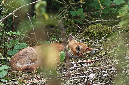 Woodland Fox