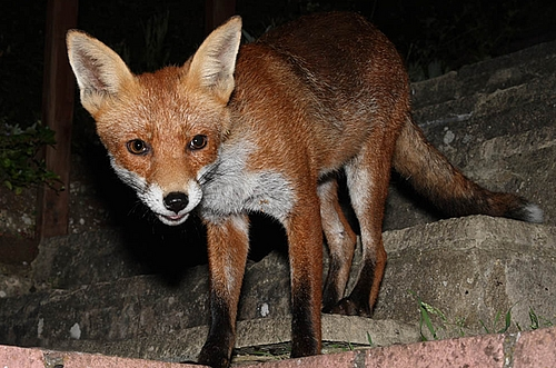 A great fox update from  Everything is permuted .