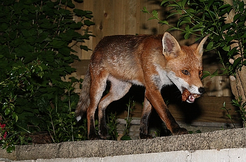 I'm up early for interesting2008.  Really looking forward to catching up with some people I hear from everyday on twitter and the like, taking loads of notes, listening to some passionate/excited/interested people and changing some random tape loops whilst Ken Hollings speaks.   Here's an interesting picture of a fox with a sausage in her mouth.  What a happy fox she must be.  Shame the guy that takes all these photo's isn't speaking today.   Image from  Everything is permuted